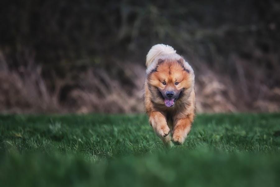 Baiko running by Joern Fellenberg - Animals - Dogs Running ( eurasier, dog, running )