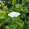 Light Emerald Moth