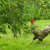 Barred Plymouth Rock Rooster
