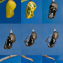 Common Crow Butterfly Time Sequence