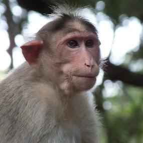 Monkey by Chirag Gupta - Animals Other Mammals ( national park, animals, patience, wait, monkey )