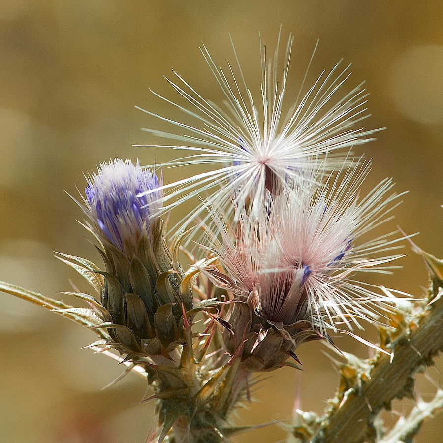 Desert Beauty by Arash Nia - Nature Up Close Other plants ( plant, desert, colorful, flower,  )
