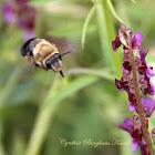 Anthophorine Bee