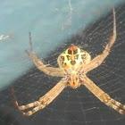 Eurasian Signature Spider