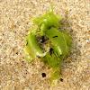 alga lechuga de mar