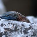 Blue-throated Keeled Lizard