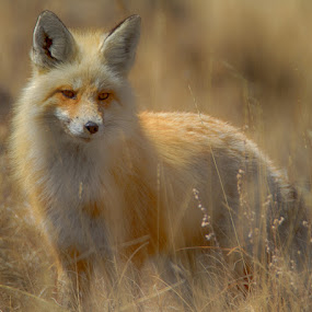 Wyoming High Country Fox by Brent Morris - Animals Other Mammals (  )