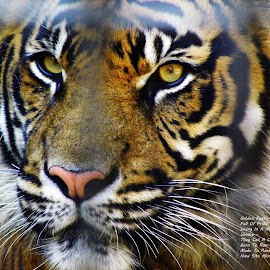 Tiger Through The Bars... by Diana O'Bryan White - Typography Quotes & Sentences ( diana o'bryan white, big cats, missouri, zoo, tiger, kansas city, #tiger, bars, writing, typography, poem, mammal, diana o'bryan,  )
