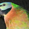 Mustache Parakeet