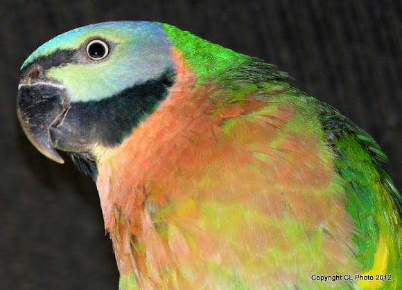 Mustache Parakeet | Project Noah