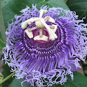 Passiion flower