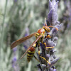 Common Paper Wasp (female)