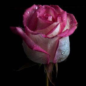 Rose with drops by Cristobal Garciaferro Rubio - Flowers Single Flower ( rose, petals, drop, drops, roses, flowers, flower, petal )