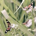 Vibilia Longwing