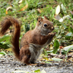 Red Squirrel by Dave Davenport - Animals Other Mammals ( wild animal, mammals, animals, wild life, squirrels, wildlife, rodent, mammal, squirrel, animal,  )