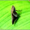 Aphrophora Spittlebug