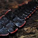 Trilobite beetle larva- female
