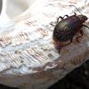 Blister beetle