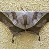 Dead-leaf moth