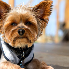 sleepy by Christopher Wu - Animals - Dogs Portraits (  )