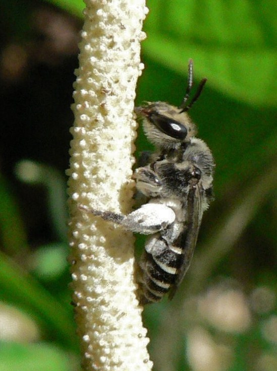 Anthophorid bee