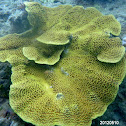 Scroll coral