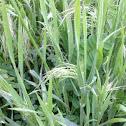 Downy Brome Grass