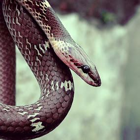 Indian Wolf Snake by Chhaditya Parikh - Animals Reptiles ( snake, wolf snake, homeless, india )