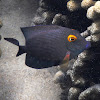Goldring Surgeonfish