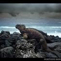 Galapagos Marine Iguana / Iguana marina de Galápagos
