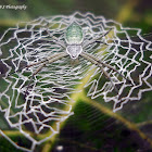 Green weaver spider with Web