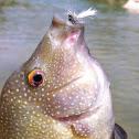 Rio Grande Perch
