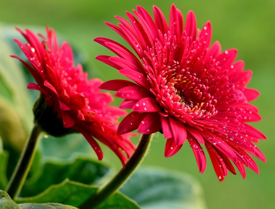 by Vishal Bhatnagar - Flowers Flower Gardens ( red, green )