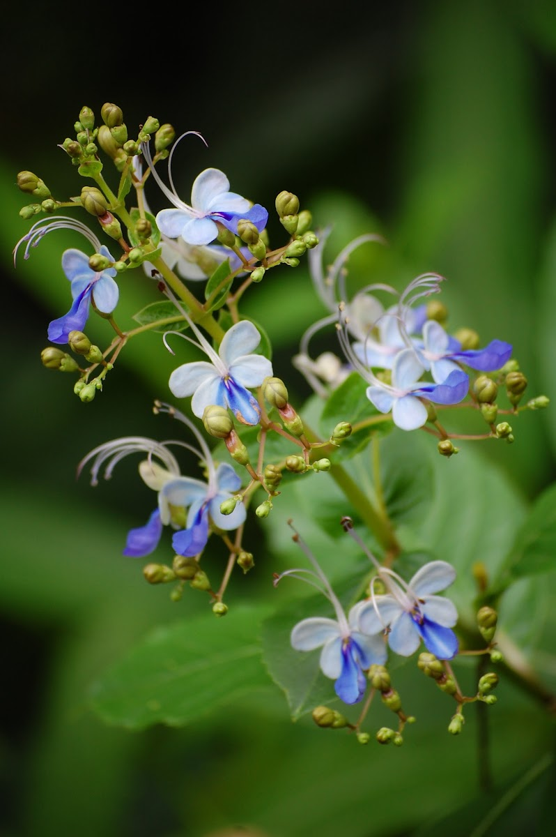 Blue Glory Bush or Blue Butterfly Bush