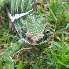 Rainforest Chameleon