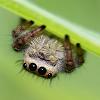 8spot jumping spider