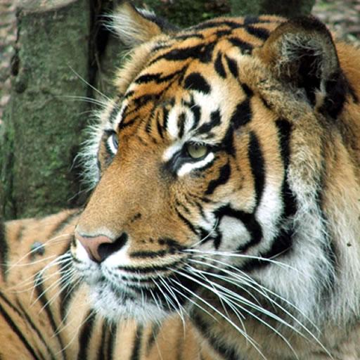 Tiger Puzzles