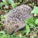 Hedgehog  (Ouriço-cacheiro)