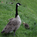 Canada goose (Grote Canadese gans)