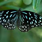 Dark Blue Tiger