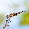 Marl pennant (female)