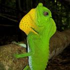 Hamp nosed lizard