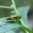 Meadow katydid