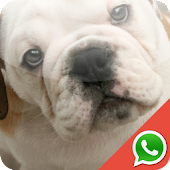 Bulldog WhatsApp Wallpapers