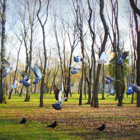 pigeons 01 by Vygintas Domanskis - City,  Street & Park  City Parks (  )