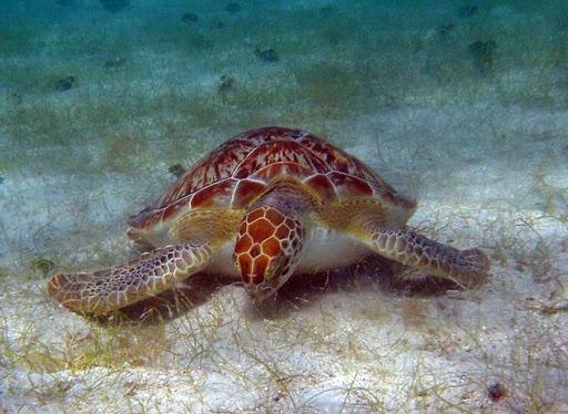 A green turtle grazes on the sea floor in the US Virgin Islands.