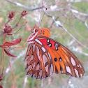 Gulf Fritillary/Passion Butterfly