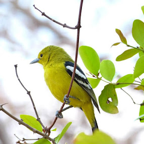 Robin by Vaibhav Shende - Animals Birds ( robin,  )
