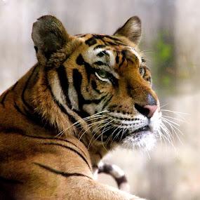 Tiger by Cecilie Hansteensen - Animals Lions, Tigers & Big Cats ( cats, tiger, portrait, animal,  )