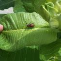 Singing Milkweed Beetle